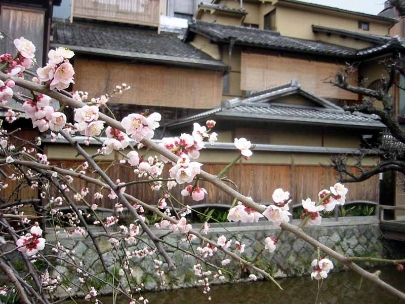 Plum Blossoms in Gion