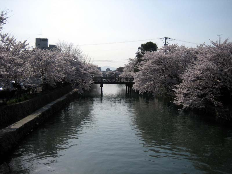 Uhh…cherry blossoms.  In Kyoto.  Yeah!