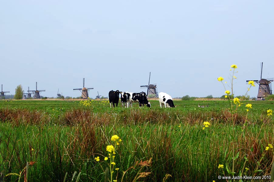 Cows and Windmills.