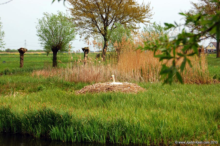 Ever seen a swan's nest?  Me neither…until now.