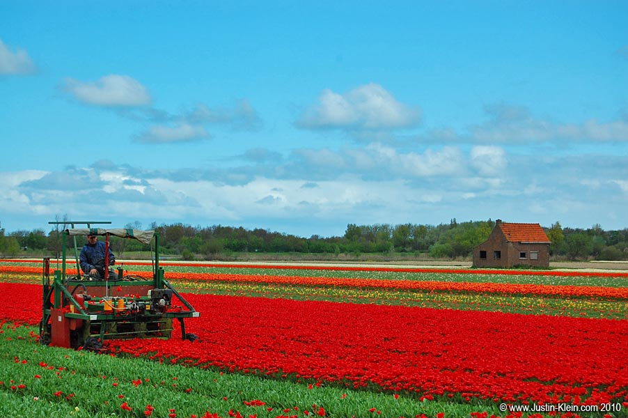 Harvesting the Tulips.