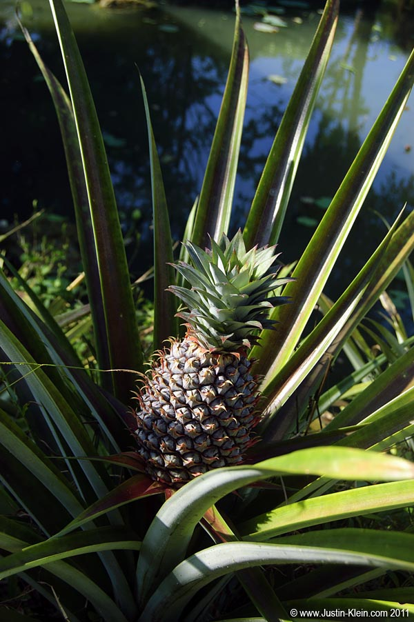 Interesting – I never even knew how pineapples grow.