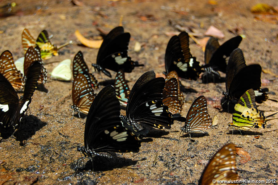 A group of butterflies lining up to drink from the river at Kbal Spean.