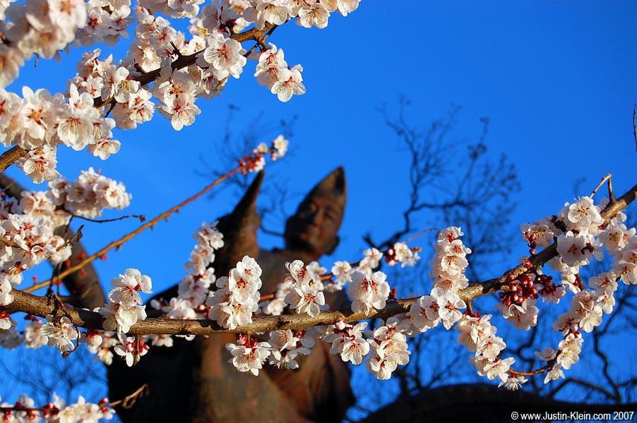 Cherry blossoms in Takayama