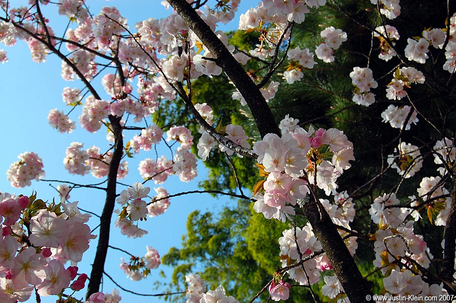 Cherry blossoms on a sunny day in Kyoto