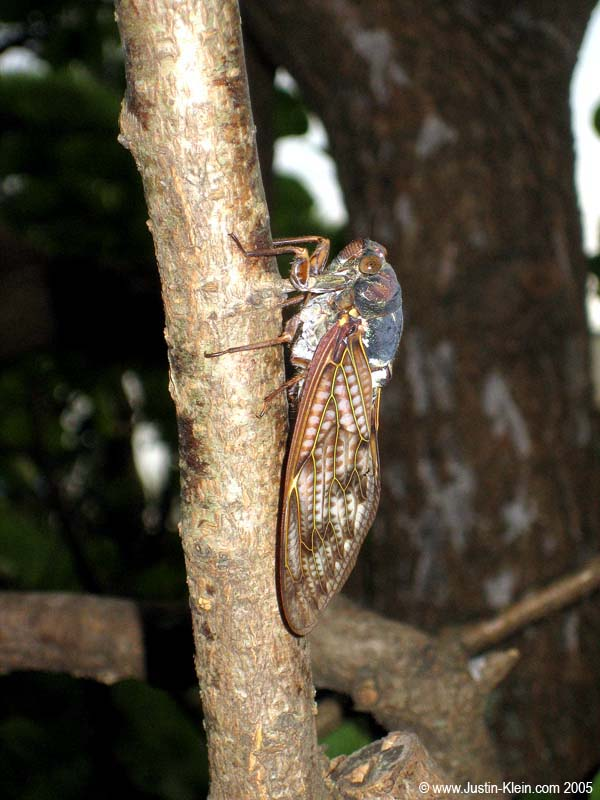 An unsettlingly large Cicada, Kamakura (Post)