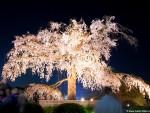 Maruyama Sakura