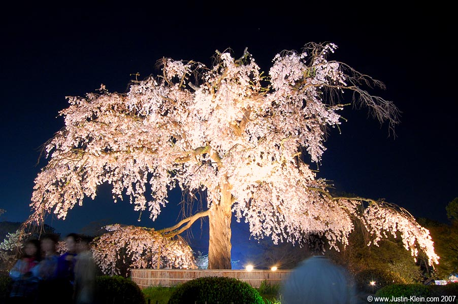 Perhaps the most famous cherry blossom tree in Japan