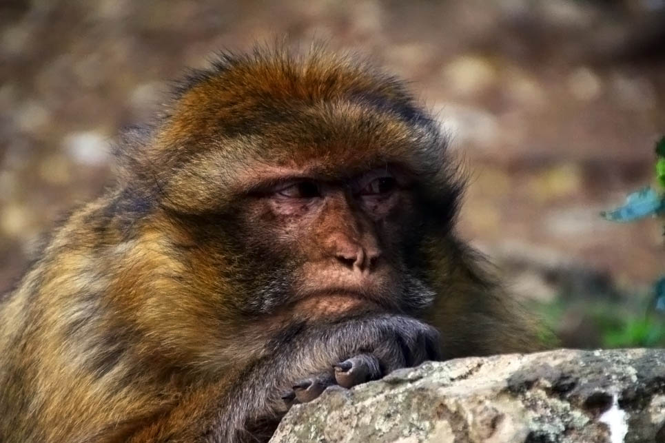 There's no question that this Barbary Ape was tired of being fed peanuts.